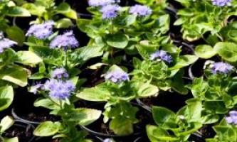 Агератум: посадка і вирощування