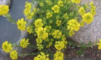 Алиссум: вирощування з насіння і розсади