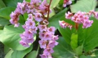 Бадан толтолістний. Bergenia crassifolia