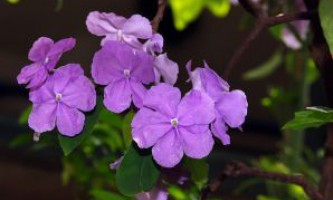 Брунфельсия. Brunfelsia