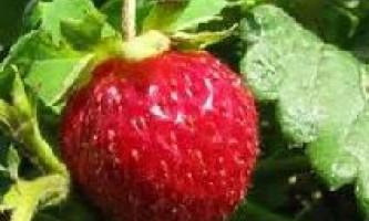 Чим підгодувати полуницю навесні?