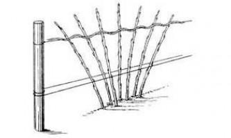Чорна малина сорт кумберленд особливості догляду.
