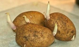 Що любить картоплю?