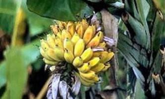 Що можна приготувати з бананів