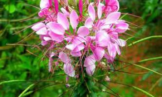 Квіти клеоми - вирощування і догляд за правилами