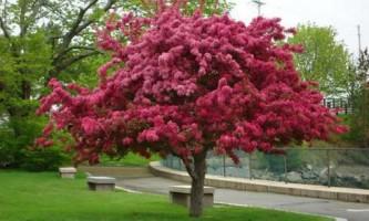 Декоративна яблуня ола, вирощування і догляд