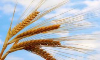 Дитячі загадки з відповідями про хліб, жнив