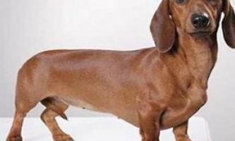 Гігієна собак і гігієнічний рефлекс
