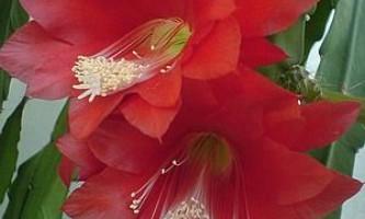 Епіфіллюм, епіфіллум. Epiphyllum