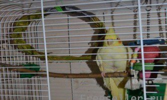 Гойдалки для папуги своїми руками