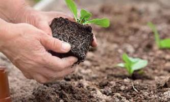 Як і коли здійснюється висадка різних видів капусти?