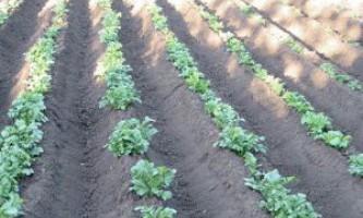 Як потрібно підгодовувати і поливати картопля