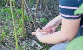 Як обрізати малину восени? Коли? І як це робити правильно?