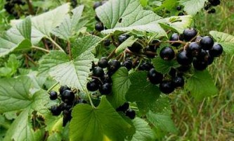 Як омолодити кущ чорної смородини і поліпшити урожай