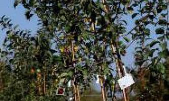 Як здійснюється правильна посадка саджанців яблуні