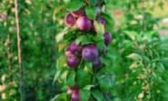 Як підрізати колонновідние яблуні