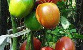 Як отримати по 50-60 помідорів з кожного куща