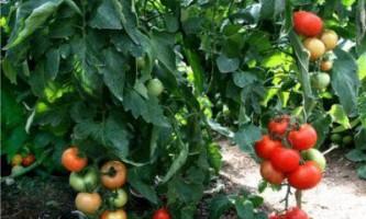 Як правильно формувати томати детермінантного типу