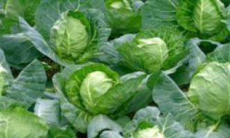 Як правильно поливати капусту? Як правильно годувати капусту?
