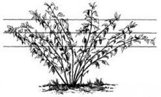 Як правильно вирощувати малину