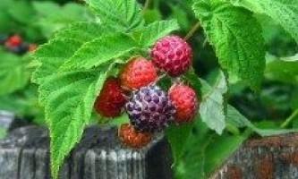 Як правильно вирощувати садову ожину