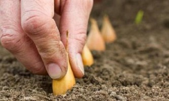 Як садити цибулю севок