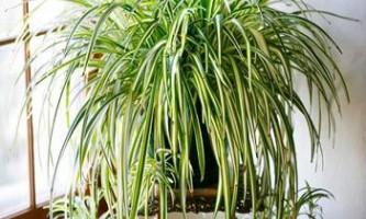 Як доглядати за хлорофітумом в домашніх умовах