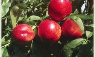 Як вибрати фруктові дерева?