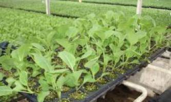 Як вирощують розсаду білокачанної капусти?