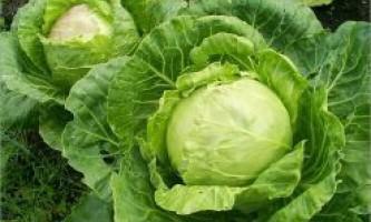 Як вирощують середньопізні сорти білокачанної капусти для квашення?