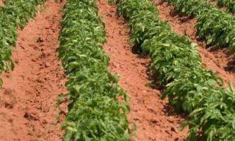Як вирощувати картоплю на одному місці