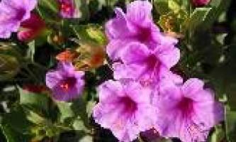 Як виростити квітку мірабіліс