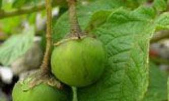 Як виростити картоплю з насіння