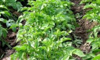 Як виростити картоплю