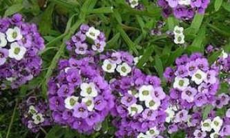 Як виростити багаторічний квітучий аліссум з насіння?