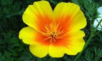 Як виростити на преусадебном ділянці квіти ешшольціі