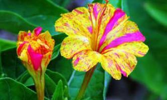 Як виростити на своїй ділянці квітка мірабіліс ялапа
