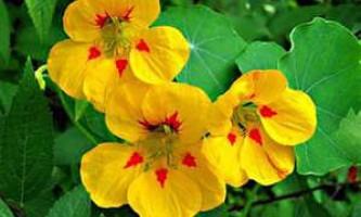 Як виростити на своїй ділянці прекрасні квіти настурції (фото і відео поради)