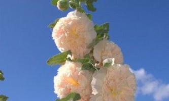 Як виростити прекрасну шток троянду (рожу) у себе в саду