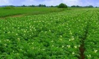 Як виростити рання картопля - підготовка до посадки