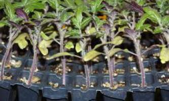 Як виростити розсаду? Необхідні умови для вирощування розсади