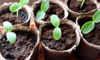 Як виростити розсаду огірків в домашніх умовах