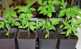 Як виростити розсаду помідор, томатів