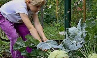 Капуста кольрабі - вирощування і догляд