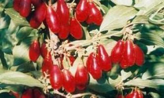 Кизил вирощування на присадибній ділянці