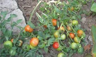 Коли садити розсаду томатів - поради досвідченої дачниці