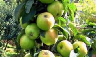 Колонновидні сорти яблуні