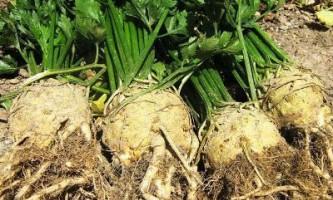 Кореневої селера - особливості вирощування та догляду