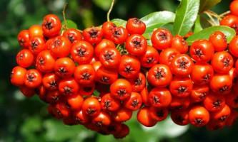 Червона і чорноплідна горобина на зиму - рецепти заготовки з фото компоту, соку та варення