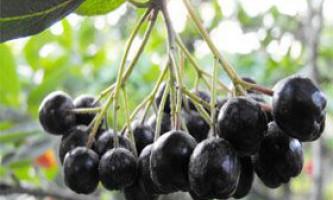 Лікувальні властивості чорноплідної горобини